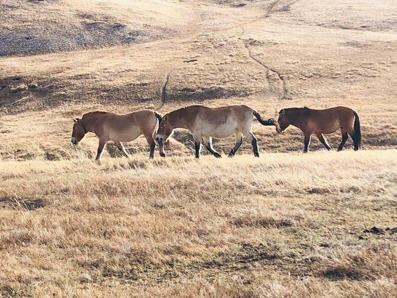 Les chevaux de Prjevalski